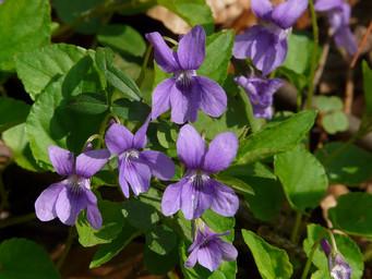 """スミレの香りに包まれる小さな村で """"Fêtes des violettes"""" スミレの花祭り"""
