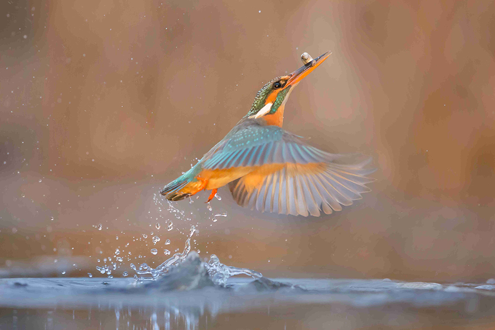 Kingfisher With Prey - Jeffrey Wu