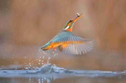 Kingfisher With Prey - Jeffrey Wu