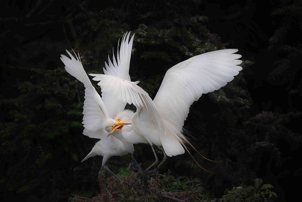 Great White Egrets Fighting - Jeffrey Wu