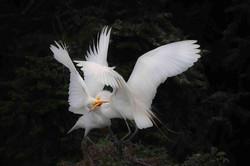 Great White Egrets Fighting - Jeffrey Wu