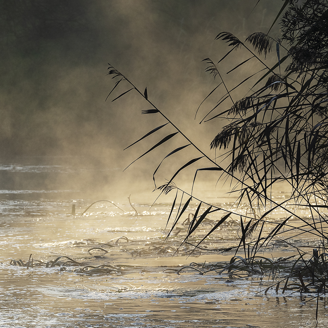 River Reeds and Fog