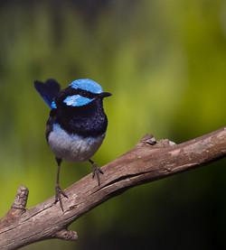 Splendid in Blue
