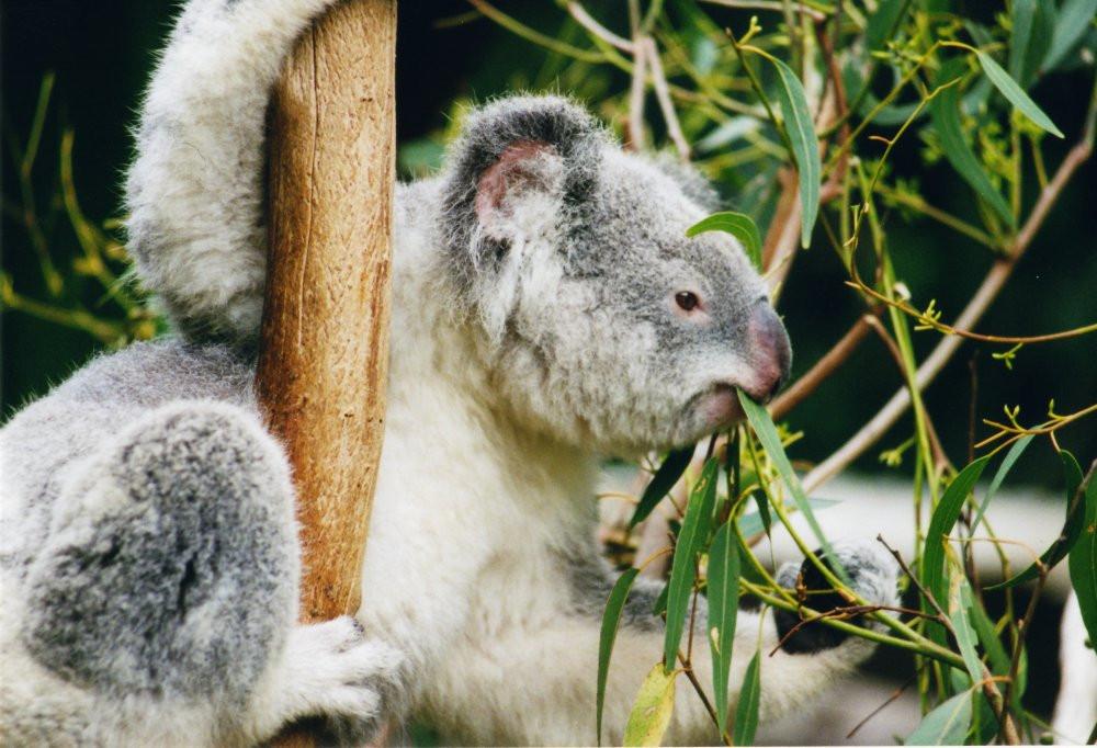 A koala hangs from a branch, eating fresh eucalyptus leaves