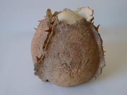 Echinodermus-III