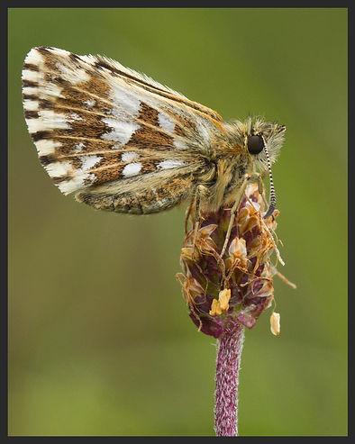 Pyrgus-malvae---grizzled-skipper | PTKbutterflies