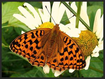 Argynnis-adippe-high-brown-fritillary | PTKbutterflies
