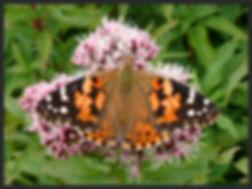 Vanessa-cardui-painted-lady-   PTKbutterflies