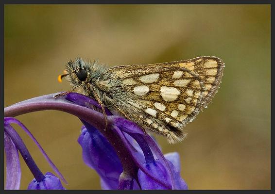 Carterocephalus-palaemon-chequered-skipp | PTKbutterflies