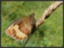 Erebia-aethiops-scotch-argus   PTKbutterflies