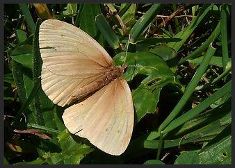 Aphantopus-hyperantus-the-ringlet-form-pallida | PTKbutterflies