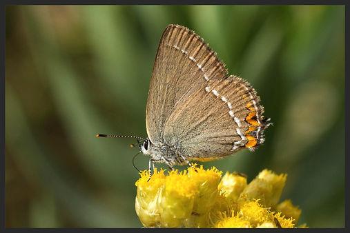 Satyrium-acaciae-sloe-hairstreak | PTKbutterflies