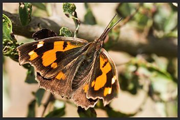 Libythea-celtis-nettle-tree-butterfly- | PTKbutterflies