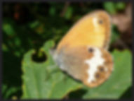Coenonympha-arcania-pearly-heath-   PTKbutterflies