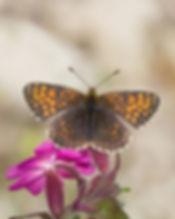 Melitaea-diamina-false-heath-fritillary- | PTKbutterflies