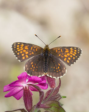 Melitaea-diamina-false-heath-fritillary- | PTKbutterflies