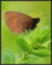 Erebia-melampus-lesser-mountain-ringlet- | PTKbutterflies