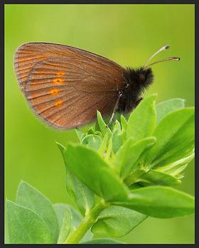 Erebia-melampus-lesser-mountain-ringlet-   PTKbutterflies