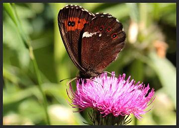 Erebia-ligea-arran-brown- | PTKbutterflies