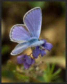 Plebejus-sephirus-zephyr-blue | PTKbutterflies