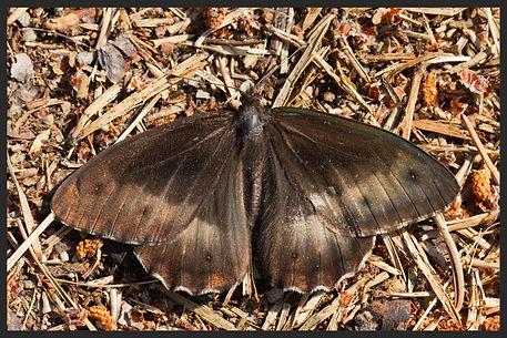 Hipparchia-hermione-rock-grayling | PTKbutterflies