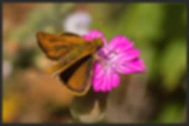 Thymelicus-acteon-lulworth-skipper | PTKbutterflies