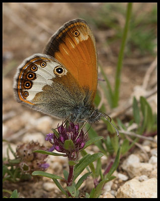 Coenonympha-arcania-pearly-heath- | PTKbutterflies