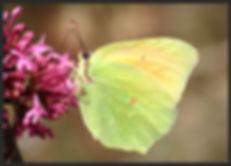 Gonepteryx-cleopatra-cleopatra | PTKbutterflies