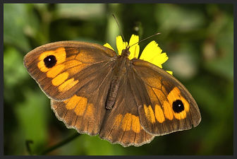 Maniola-jurtina-meadow-brown | PTKbutterflies