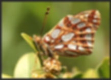 Issoria-lathonia-queen-of-spain-fritillary | PTKbutterflies