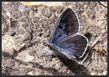 Phengaris-arion-large-blue-butterfly | PTKbutterflies