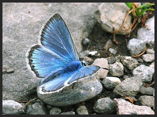 Polyommatus-eros-eros-blue | PTKbutterflies
