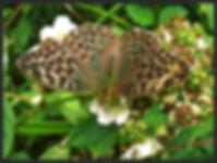 Argynnis-paphia-silver-washed-fritillary-valezina   PTKbutterflies