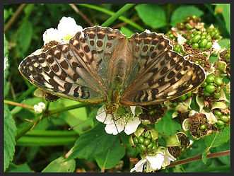 Argynnis-paphia-silver-washed-fritillary-valezina | PTKbutterflies