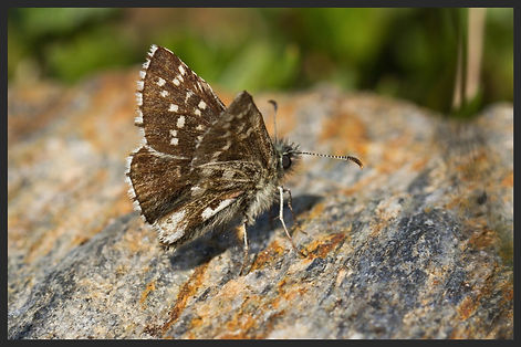 Pyrgus-andromedae---alpine-grizzled-skip   PTKbutterflies