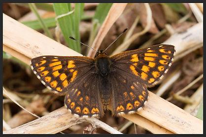 Hamearis-lucina-duke-of-burgundy | PTKbutterflies