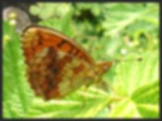 Brethnis-daphne-marbled-fritillary | PTKbutterflies