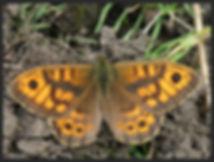 Lasiommata-megera-the-wall-brown- | PTKbutterflies
