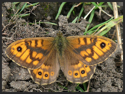Lasiommata-megera-the-wall-brown- | PTKbutterflies