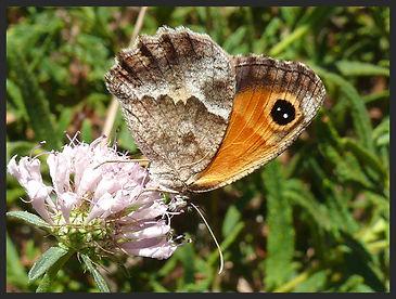 Pyronia-cecilia-southern-gatekeeper | PTKbutterflies