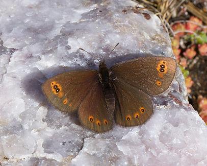 Erebia-polaris-Arctic-Woodland-Ringlet | PTKbutterflies