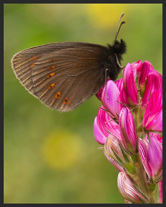 Erebia-alberganus-almond-eyed-ringlet | PTKbutterflies