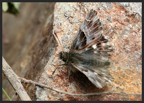 Carcharodus-flocciferus-tufted-marbled-s | PTKbutterflies