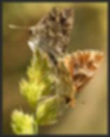 Carcharodus-orientalis--oriental-marbled | PTKbutterflies