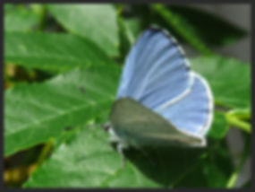 Celastrina-argiolus-holly-blue | PTKbutterflies
