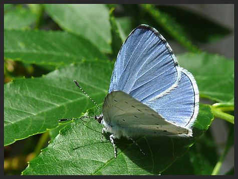 Celastrina-argiolus-holly-blue   PTKbutterflies