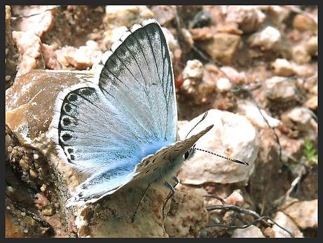 Polyommatus-hispana-provence-chalkhill-b | PTKbutterflies