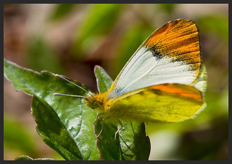 Anthocharis-belia-moroccan-orange-tip | PTKbutterflies