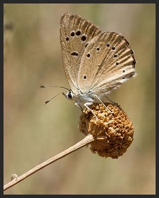 Polyommatus ripartii agenjoi-Agenjo'sAnomalous Blue