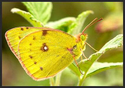 Colias-alfacariensis-bergers-clouded-yel | PTKbutterflies